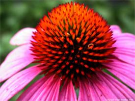 Healing Herbs: Echinacea