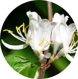 Flower Remedies - Honeysuckle